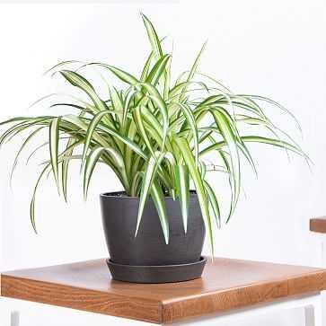 Spider Plant Pot, Charcoal - West Elm