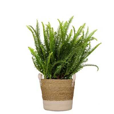 Kimberly Fern Live Indoor Houseplant  In 10 Inch Beige And White Whicker Basket - Wayfair
