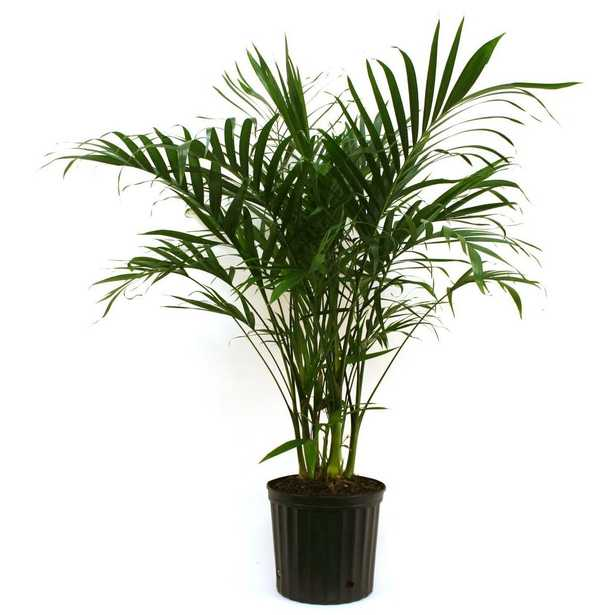 Cateracterum Palm in 9.25 in. Grower Pot - Home Depot