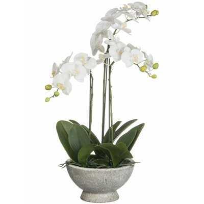 Orchid Phalaenopsis Plant in Pot - Wayfair