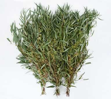 Live Willow Eucalyptus Branches, 3 Bunches - Pottery Barn