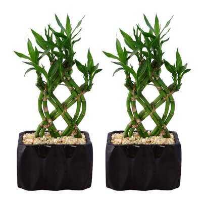 "12 Live Foliage 7"" Bamboo Plant in Planter Set - Wayfair"