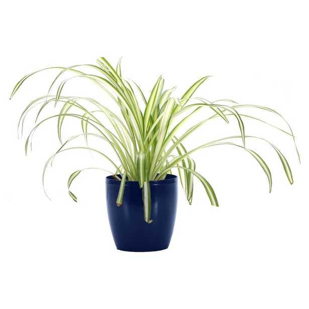 "Thorsen's Greenhouse 7"" Live Foliage Plant in Pot Base Color: Iris - Perigold"