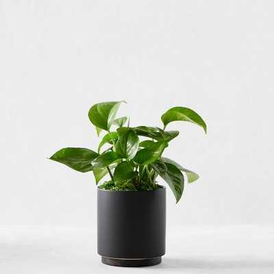 Leon & George Jade Pothos Potted Plant, Small, Black - Williams Sonoma