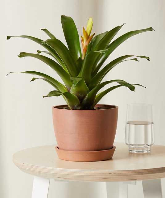 Bromeliad Electra -  Clay - Bloomscape