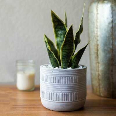 Snake Plant in Pot - Wayfair