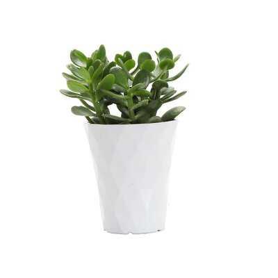 """9"""" Live Jade Plant in Pot - Wayfair"""
