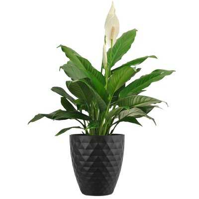 """15"""" Peace Lily Plant in Planter - Wayfair"""