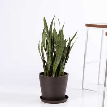 Sansevieria Snake Plant in Pot - Bloomscape