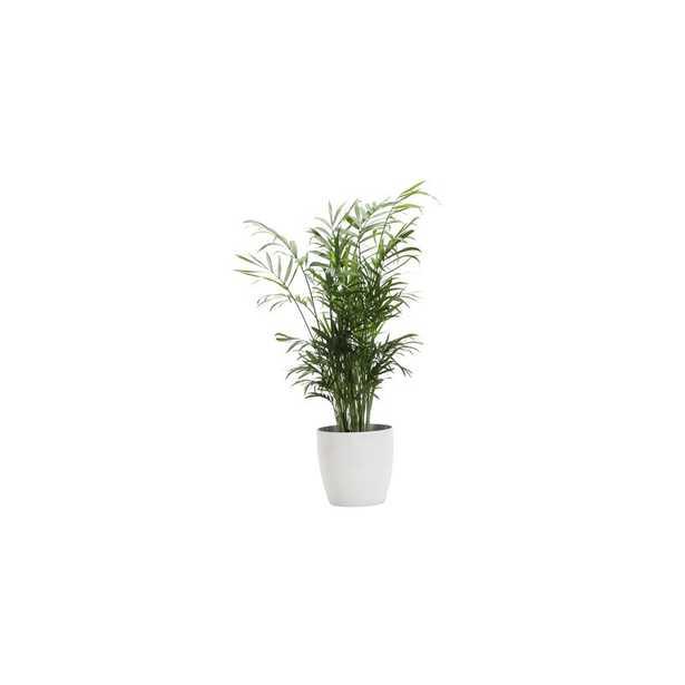 "10"" Thorsen's Greenhouse Live Neantha Bella Palm Plant in Pot Base Color: White - Perigold"