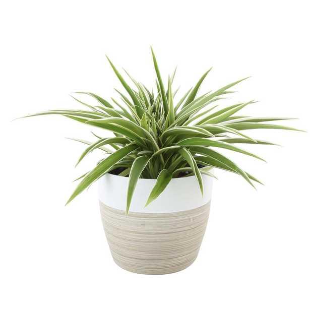 Costa Farms Chlorophytum comosum Spider Live Indoor Plant in Decor Planter - Home Depot