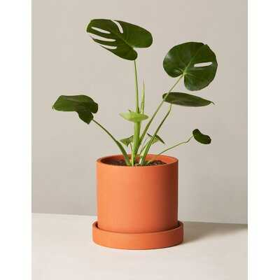 20.5'' Live Plant in Pot - Wayfair