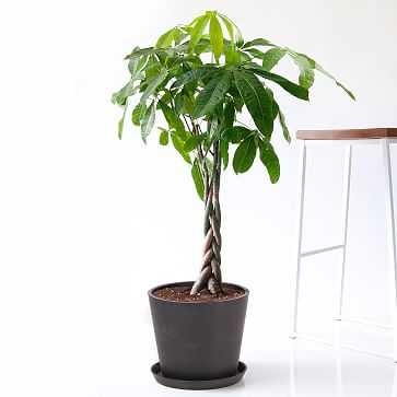 Money Tree Pot, Charcoal - Bloomscape