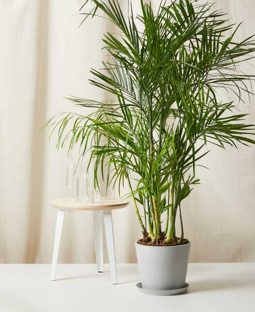 Bamboo Palm -  Stone - Bloomscape