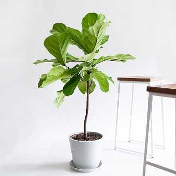 Fiddle Leaf Fig Pot, Stone - West Elm