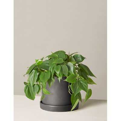 Live Philodendron Plant in Pot - Wayfair