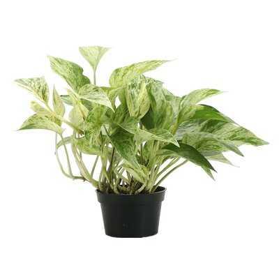 Live Foliage Plant in Pot - Wayfair