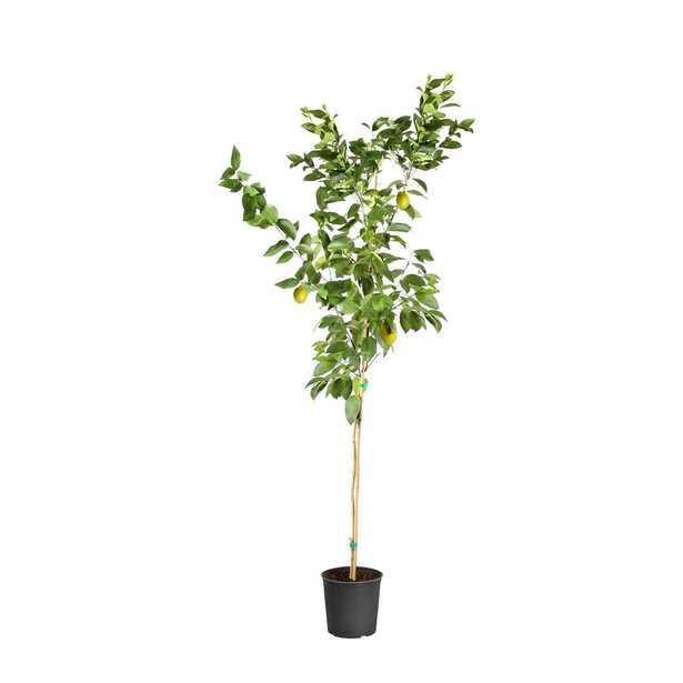 Brighter Blooms 3 Gal. Meyer Lemon Tree - Home Depot