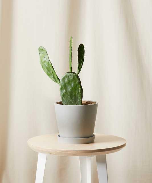 Prickly Pear Cactus -  Stone - Bloomscape