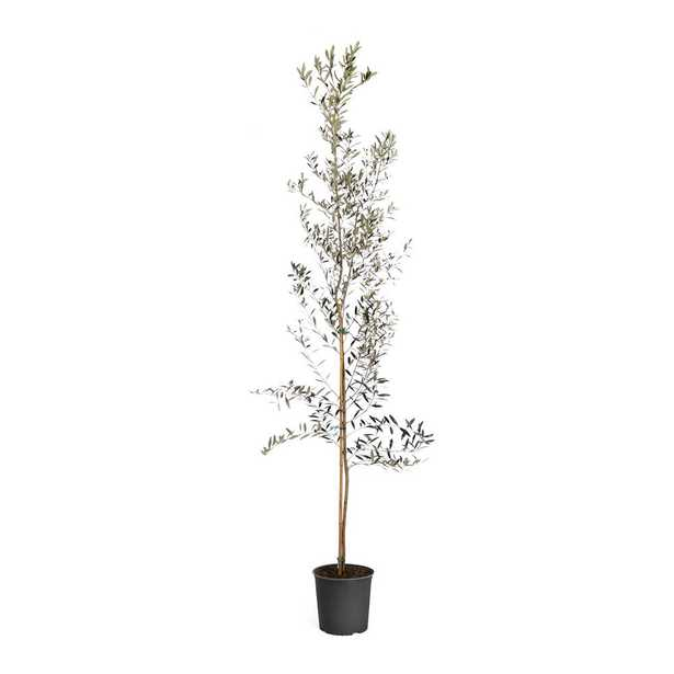 Brighter Blooms 3 Gal. Arbequina Olive Tree - Home Depot