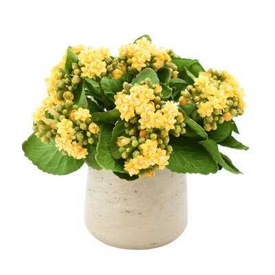 Kalanchoe Floral Arrangement in Pot - Birch Lane