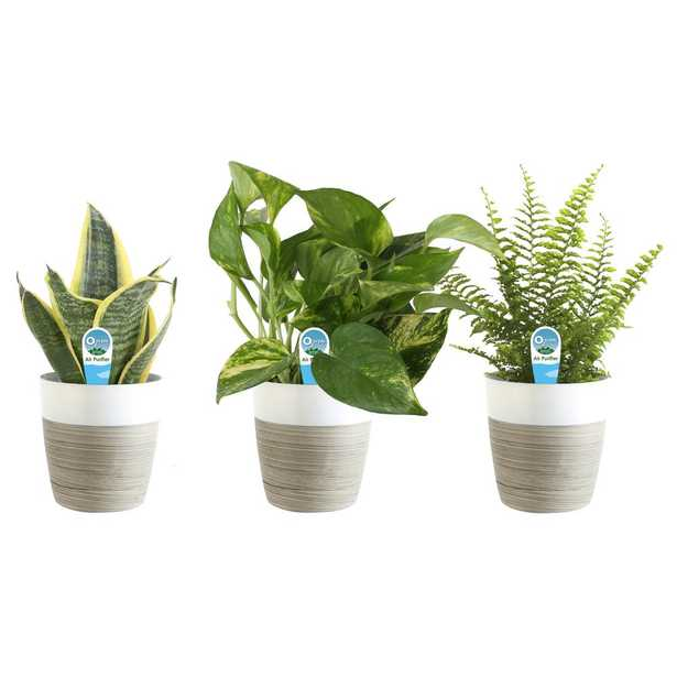 Costa Farms O2 for You House Plant Collection in 4 in. Decor Pot (3-Pack) - Home Depot