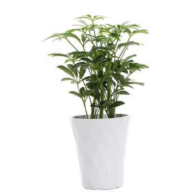 "13"" Live Arboricola Plant in Pot - Wayfair"