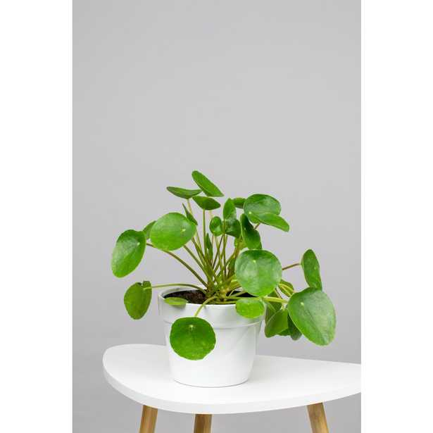 """LIVELY ROOT Pilea peperomioides - Chinese Money Plant in 6"""" Grower Pot - Home Depot"""