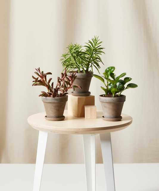 Pet-Peromia Collection -  Basalt - Bloomscape