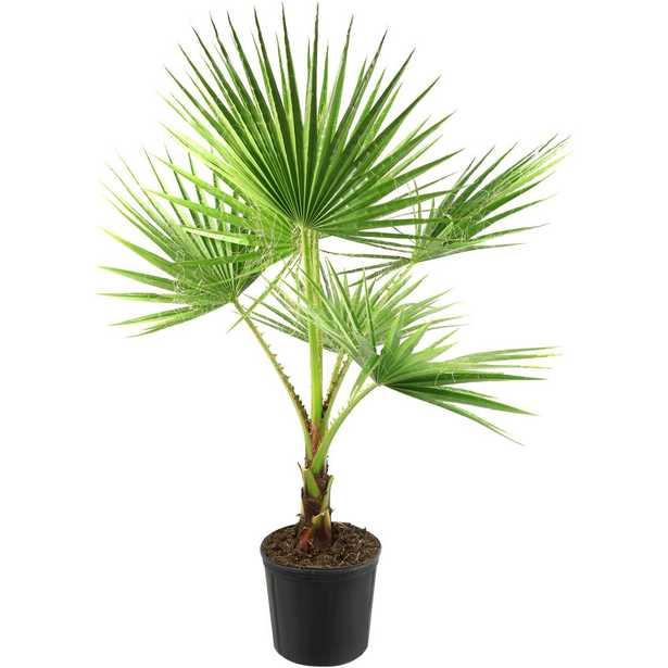 National Plant Network 2 Gal. Washintonia Palm Tree - Home Depot