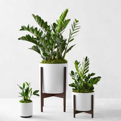 Leon & George Zanzibar Gem Potted Plant, MEDIUM, White - Williams Sonoma