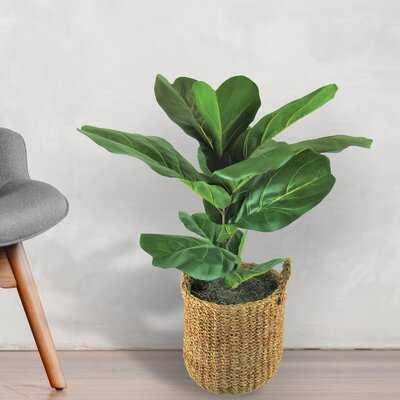Fiddle Leaf Fig Plant in Basket - Wayfair