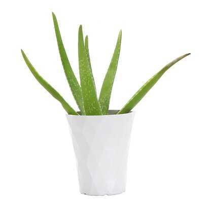 "11"" Live Aloe Plant in Pot - Wayfair"