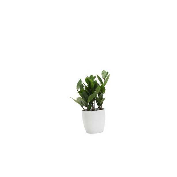 "11"" Thorsen's Greenhouse Live Foliage Plant in Pot Base Color: White - Perigold"