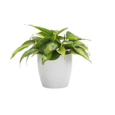 """4"""" Live Philodendron Plant in Pot - Wayfair"""