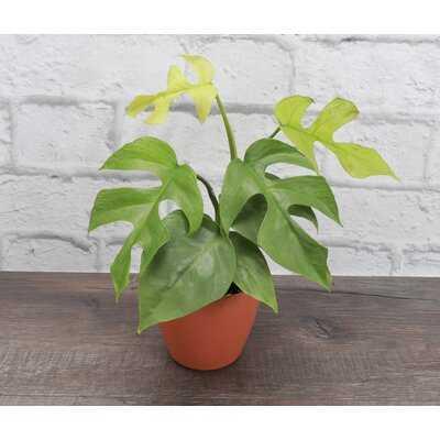 Mini Monstera, Yellow Biodegradable Pot - Wayfair