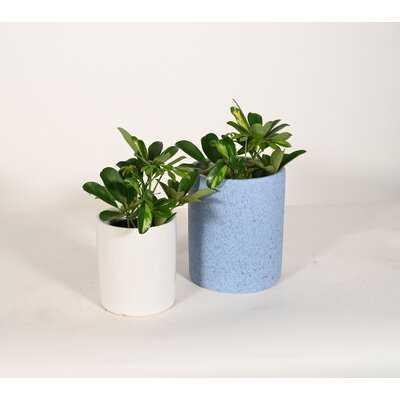 Live Plant Umbrella Plant With Ceramic Planter Pots 5'' Sky Blue/6'' White - Wayfair