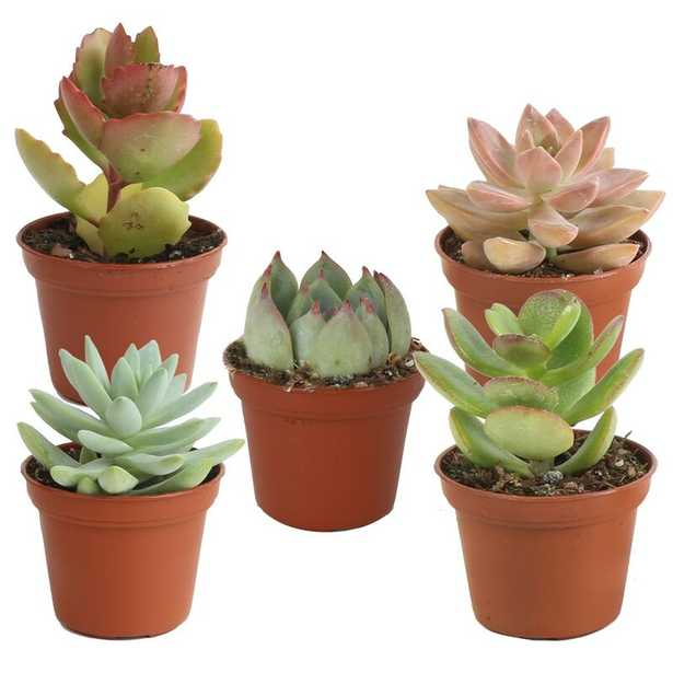 Costa Farms 5 Live Succulent in Pot Set - Perigold