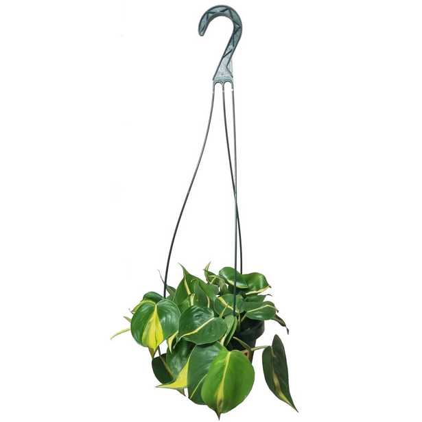 EVERGRACE Philodendron Brasil Plant in 6 inch Hanging Basket - Home Depot