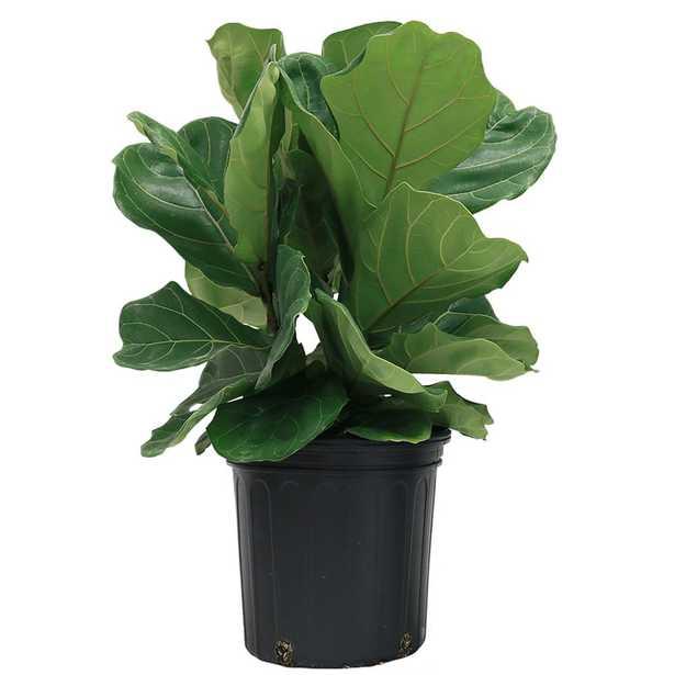 Ficus Pandurata Bush in 8.75 in. Grower Pot (Live Plant) - Home Depot