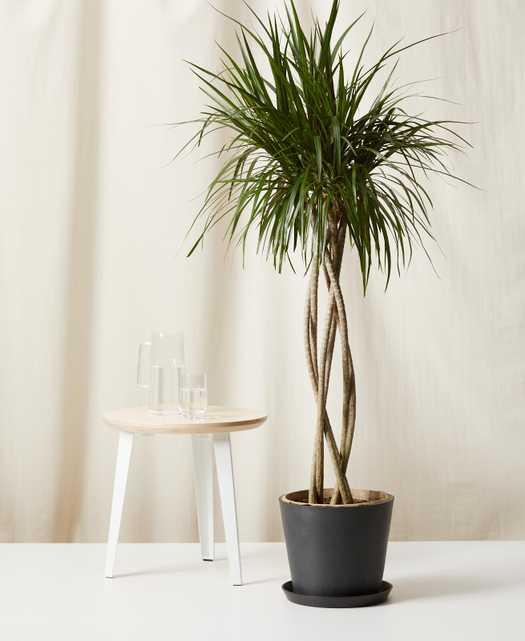 Dracaena Marginata Open Weave -  Charcoal - Bloomscape