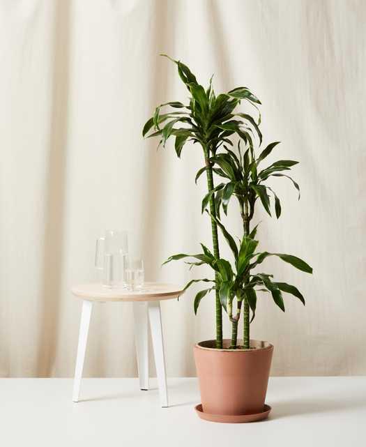 Dracaena Dorado -  Clay - Bloomscape