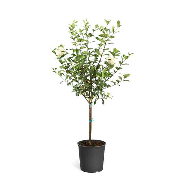 Brighter Blooms 3 gal. Flowering Gardenia Tree - Home Depot