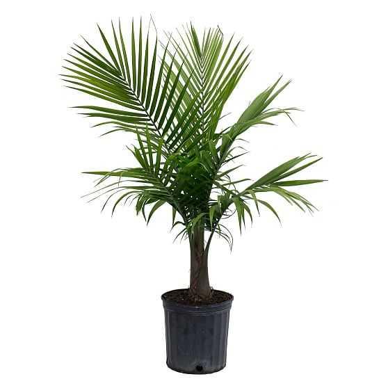 """Live 10"""" Majesty Palm Plant - West Elm"""