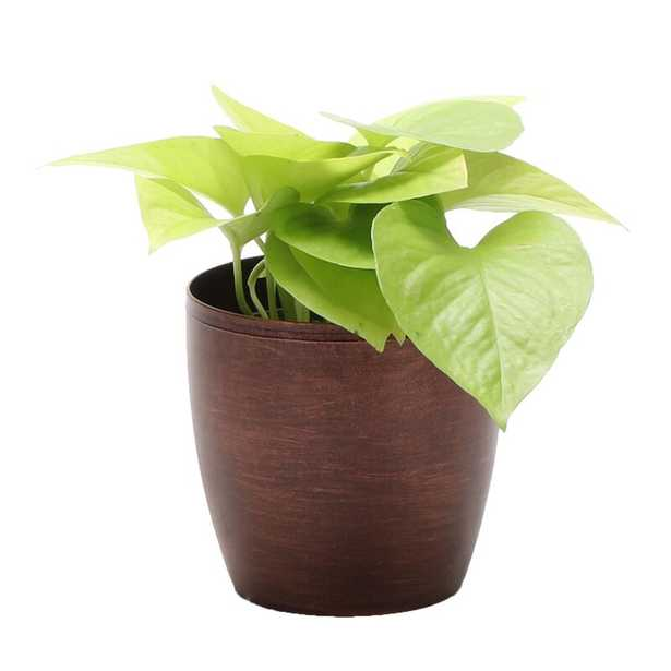 """Thorsen's Greenhouse 4"""" Live Foliage Plant in Pot Base Color: Copper - Perigold"""