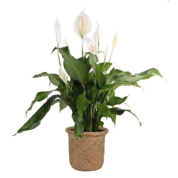"Costa Farms 32"" Live Peace Lily Plant in Basket - Perigold"