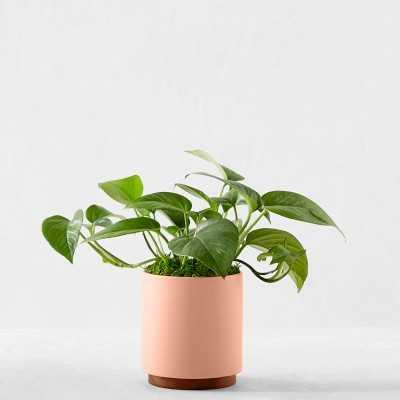 Leon & George Jade Pothos Potted Plant, Small, Pink - Williams Sonoma