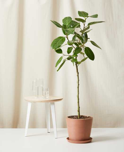 Ficus Audrey -  Clay - Bloomscape