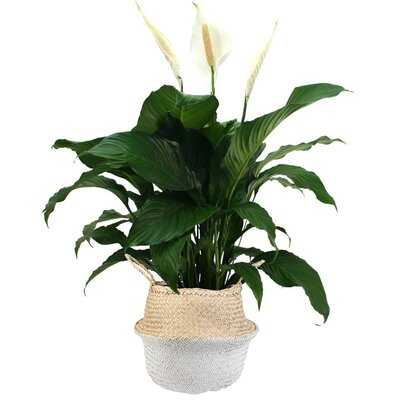 """32"""" Live Peace Lily Plant in Basket - AllModern"""