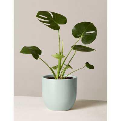 20'' Live Monstera Plant in Pot - AllModern